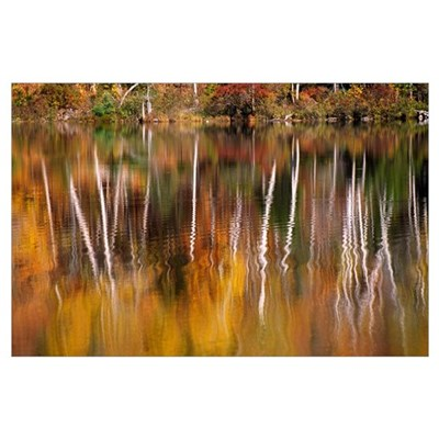 Birch Trees Reflected In Water Poster