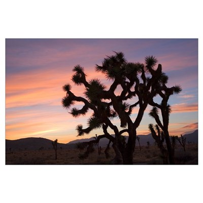 Joshua Trees Silhouetted At Sunset Poster