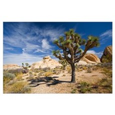Joshua Tree With Shadow Poster