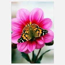 Painted Lady Butterfly On Dahlia Flower Blossom