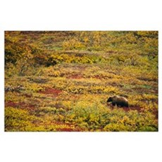 Grizzly bear (U. horribilis) looking for berries i Poster