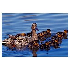 Female mallard duck with chicks on water, Ohio Poster