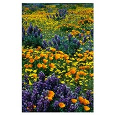 Poppy and lupine flowers blooming in field, Califo Poster