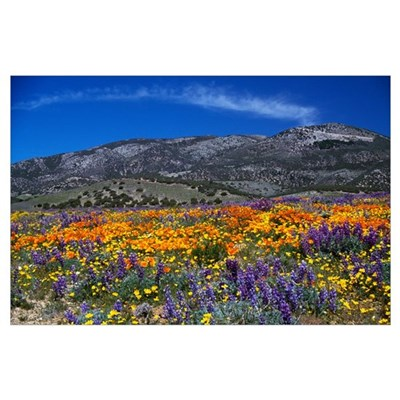 Poppy field in bloom, distant mountains, Californi Poster