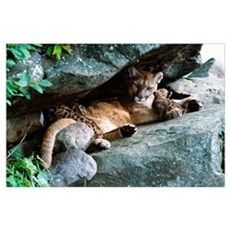 Female cougar lying under rock overhang with cubs, Poster