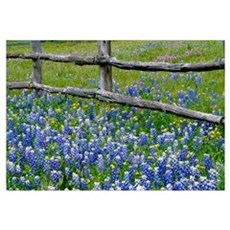 Bluebonnet flowers blooming around weathered wood Framed Print