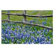 Bluebonnet flowers blooming around weathered wood Poster