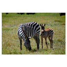 Zebra mare and colt grazing, Ngorogoro Crater, Tan Poster