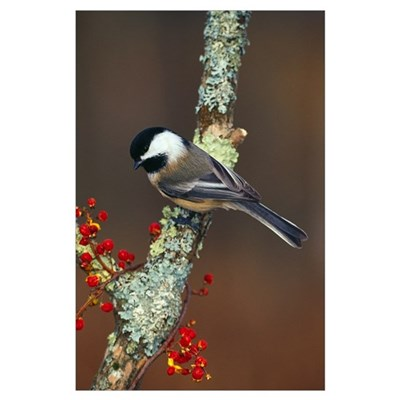 Black-capped chickadee bird on tree branch with be Poster