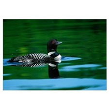 Common loon in water, Michigan