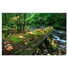 Mossy log over forest stream, fallen autumn color  Poster