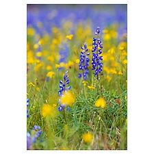Texas bluebonnet flowers in bloom among yellow wil