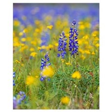 Texas bluebonnet flowers in bloom among yellow wil Poster