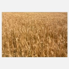 Wheat crop in a field, Otter Tail County, Minnesot