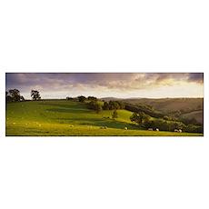 Sheep grazing in a field, Bickleigh, Mid Devon, De Poster