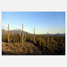 Saguaro cacti in a desert, Four Peaks, Phoenix, Ma