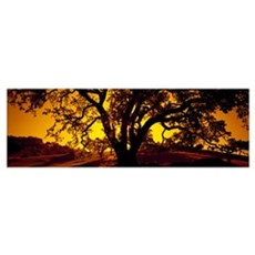 Silhouette of Coast Live Oak trees (Quercus agrifo Poster