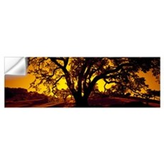 Silhouette of Coast Live Oak trees (Quercus agrifo Wall Decal
