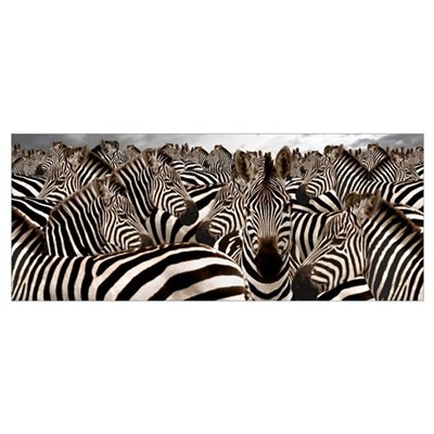 Herd of zebras Framed Print