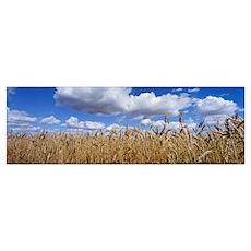 Wheat crop growing in a field, near Edmonton, Albe Poster