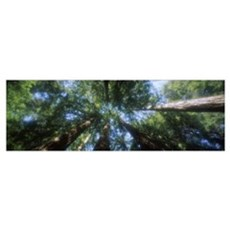Low angle view of Sequoia trees (Sequoia sempervir Poster