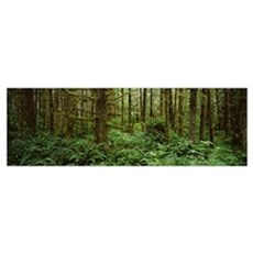 Bigleaf maple trees in a forest, Temperate Rainfor Poster