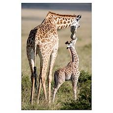 Masai giraffe (Giraffa camelopardalis tippelskirch Poster