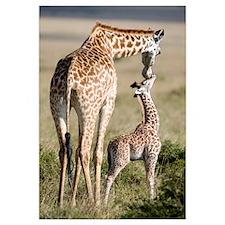 Masai giraffe (Giraffa camelopardalis tippelskirch