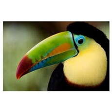 Close up of Keel Billed toucan (Ramphastos sulfura Poster