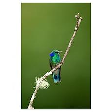 Close up of a Green Violetear hummingbird (Colibri Poster
