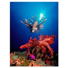 Lionfish (Pteropterus radiata) and Squarespot anth Framed Print