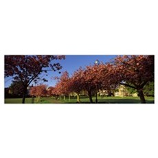 Cherry blossom in a park Stray Harrogate North Yor Poster