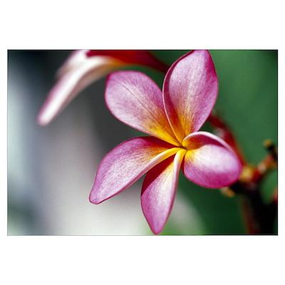Close up of a frangipani (Plumeria) flower Poster