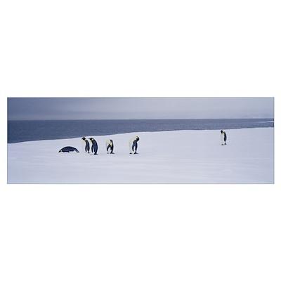 Emperor Penguins Ross Sea Antarctica Poster