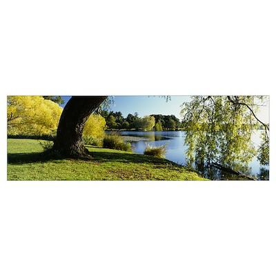 Willow tree by a lake, Green Lake, Seattle, Washin Poster