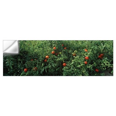 Close-up of tomatoes growing on a tree Wall Decal
