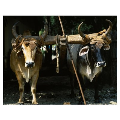 Yoked Oxen Costa Rica Poster