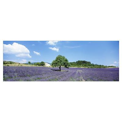Lavender Field Provence France Poster