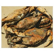 Close-up of crabs (Cancer Pagurus), Maryland Poster