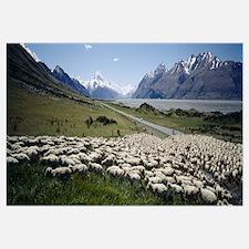 Flock of sheep in a field, Lake Pukaki, Glentanner