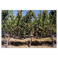 Grape vines in a vineyard, Napa Valley, Napa Count