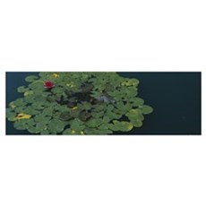 Water lily with lily pads in a pond, Denver Botani Poster