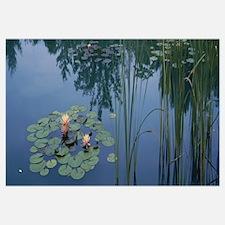 Water lilies in a pond, Denver Botanic Gardens, De