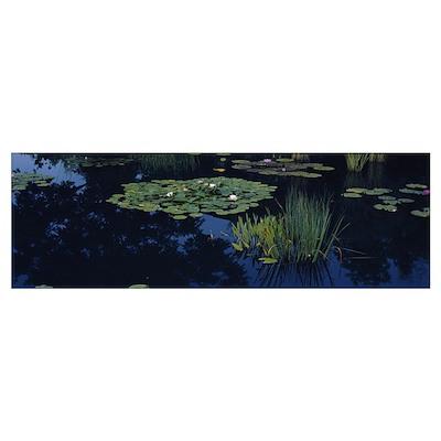 Water lilies in a pond, Denver Botanic Gardens, De Poster