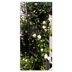 Pink roses growing on the side of a house, Siascon Poster