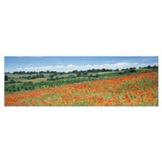 Poppy flowers in a field, Spoonbed Hill, Cotswold, Poster