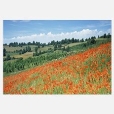 Poppy flowers in a field, Spoonbed Hill, Cotswold,