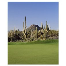 Saguaro cacti in a golf course, Troon North Golf C Poster