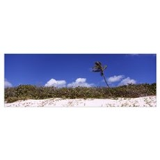 Palm tree on the beach, Anguilla Poster