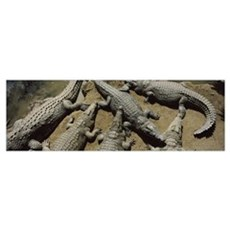 Crocodiles in a crocodile farm Victoria Falls Zimb Canvas Art